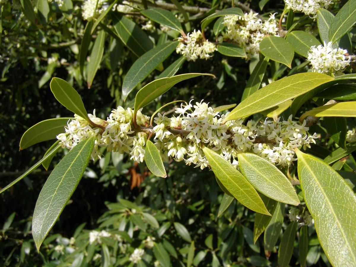 natural gift items osmanthus flower tea