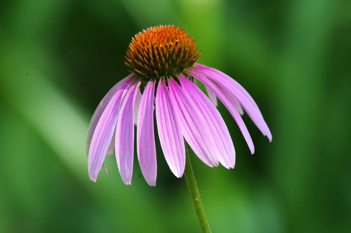 echinacea for colds and flu