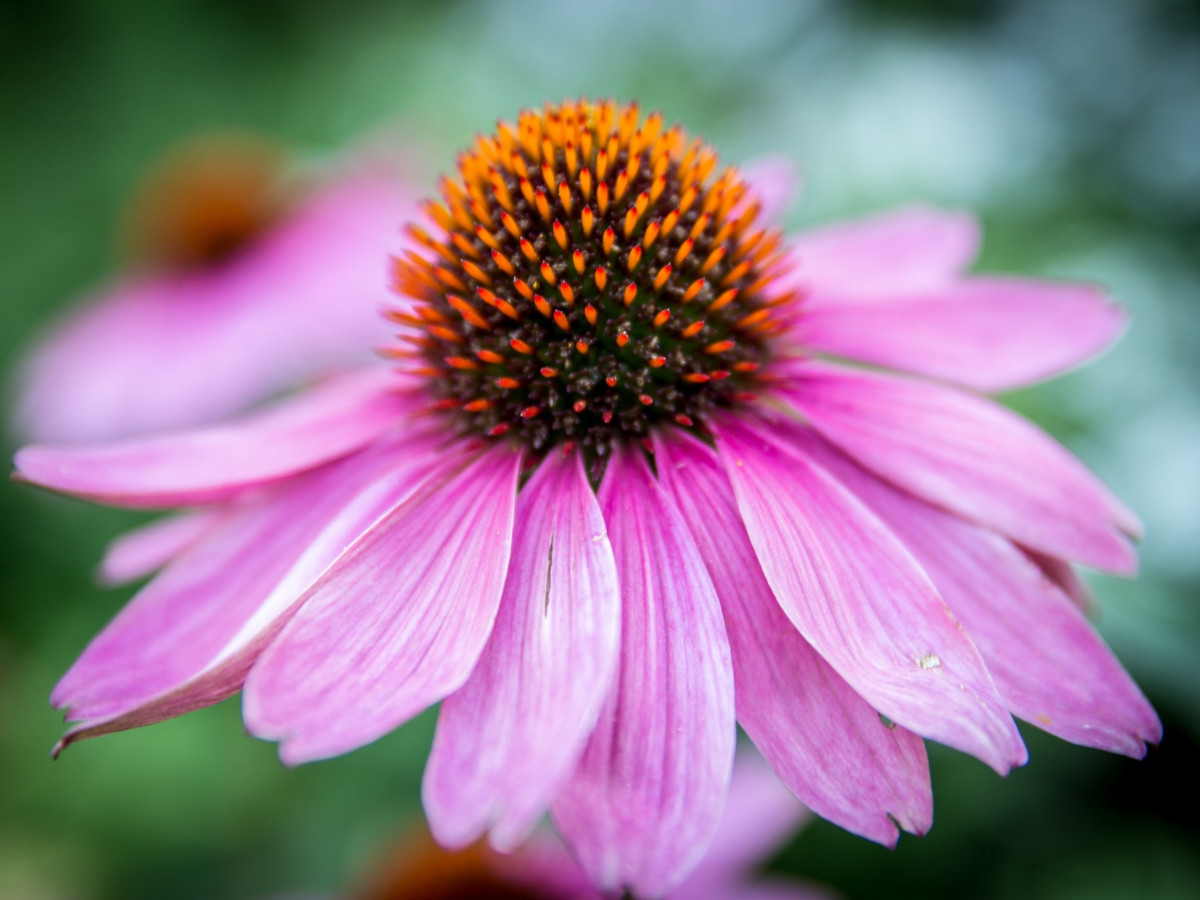 echinacea benefits colds and flu