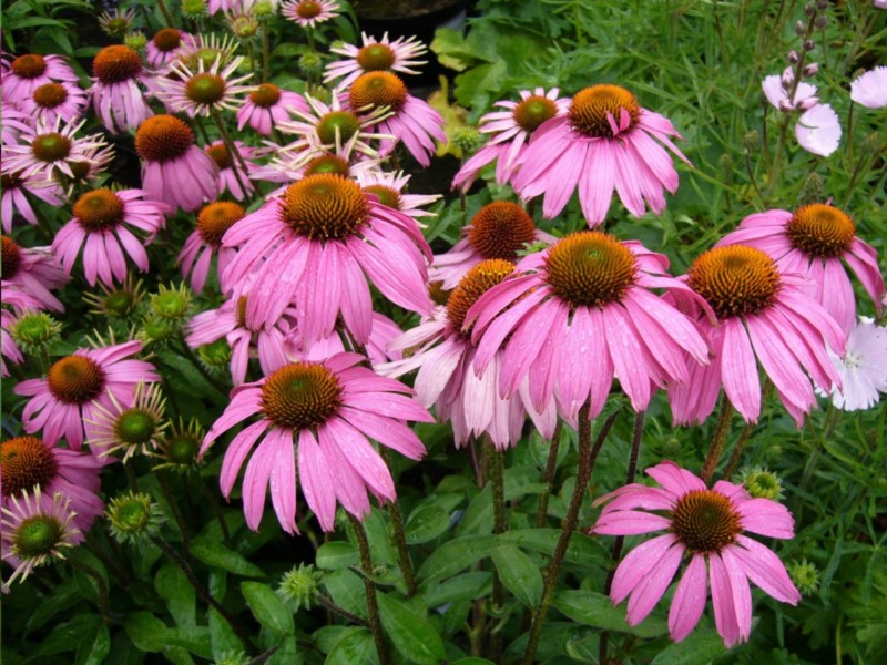 echinacea natural first-aid kit