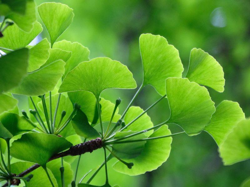 Ginkgo Biloba Herbs That Boost Memory and Brain Health