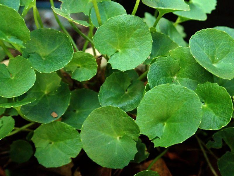 Gotu Kola Herbs To Boost Memory and Brain Health