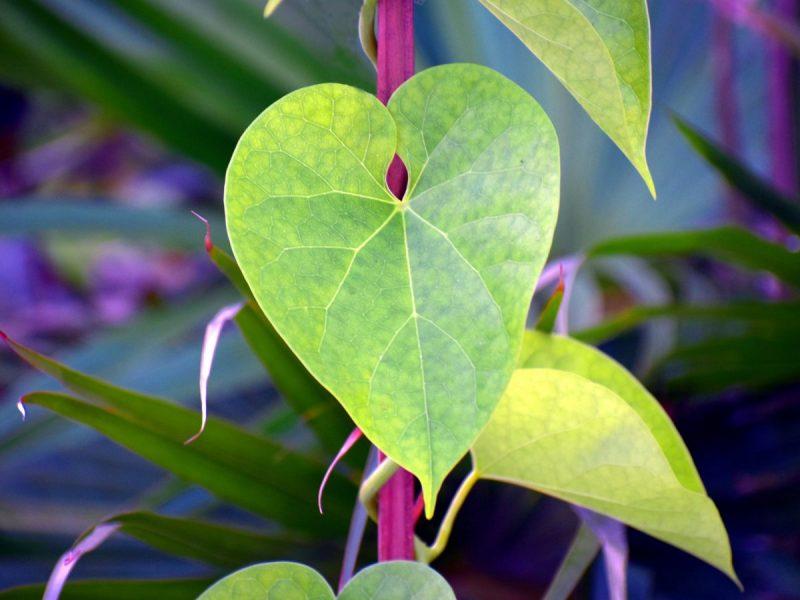 Guduchi Herbs To Boost Memory and Brain Health