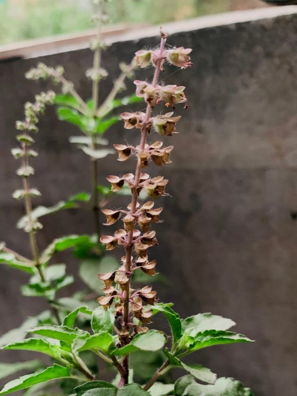 Tulsi Herbs To Boost Memory and Brain Health