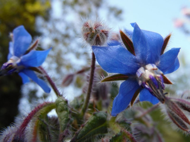 Borage Anti-Aging Oils and Butters for Skin Care