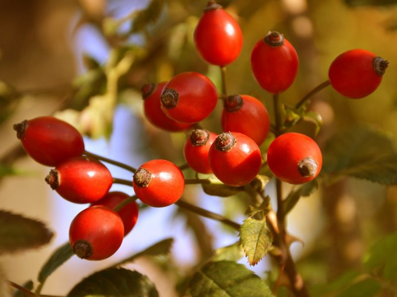Rose HIps Anti-Aging Oils and Butters for Skin Care