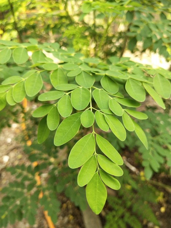 Moringa The Most Powerful and Sustainable Superfood